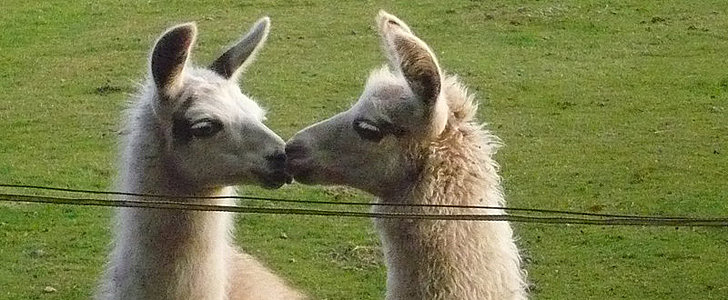 11 Steamy Seduction Tips From Llamas