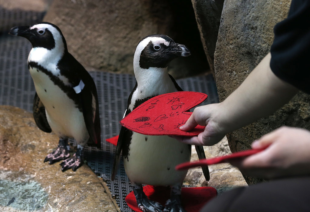 A biologist  gives an African Penguin a Valentine's Day card at the California Academy of Sciences in San Francisco, California.