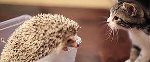 Love at First Sight: Kitten Meets a Hedgehog