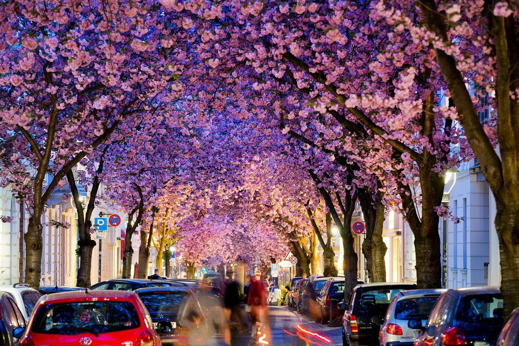 Flowering cherry trees created a gorgeous tunnel over a street in Bonn, Germany.