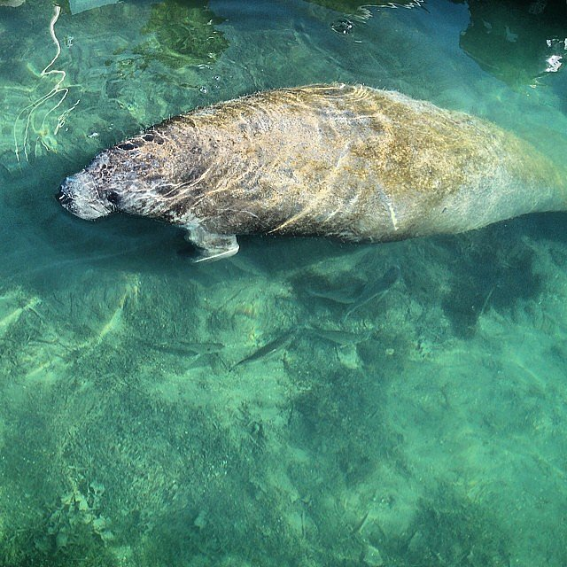 Laze Around With Manatees in Florida
