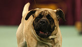 10 Cool Facts About English Mastiffs