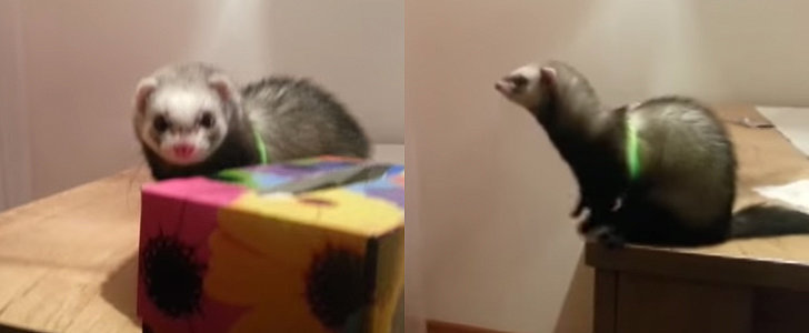 You'll Laugh at This Cute Ferret Totally Fail at a Big Jump