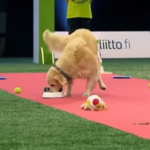 Golden Retriever Obedience Challenge | Video