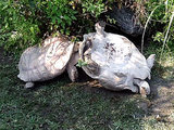 Tortoise Helps Upside-Down Companion, Teaches Us the Meaning Friendship