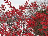 6 Rockin' Red Plants for Winter Gardens (9 photos)
