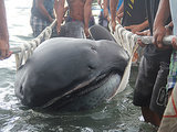 Rare Megamouth Shark Washes Up on Philippines Beach