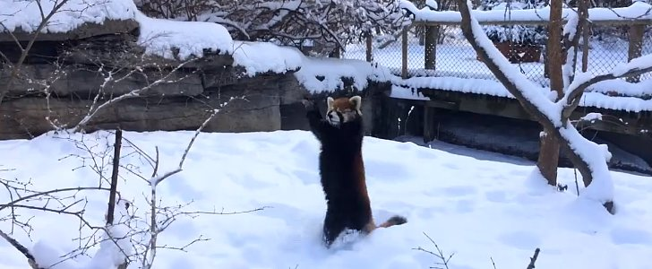 You Will Want to Steal These Adorable Red Pandas Playing in the Snow