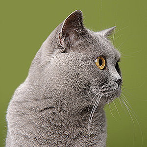 Get to Know the British Shorthair: A Purring Teddy Bear