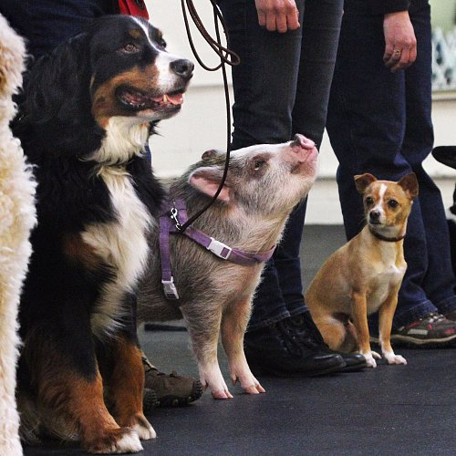 Stop What You're Doing and Watch This Pig Compete in a Dog Show