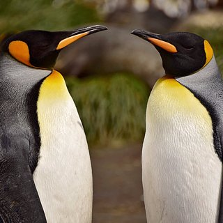 Antarctica King Penguins