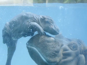 Meet the San Diego Zoo's New Baby Hippo (VIDEO)