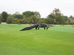 Giant Florida Golf Course Gator Is Back - and He Brought His Appetite