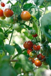 Summer Crops: How to Grow Tomatoes (10 photos)