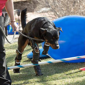 Brutus the Rottweiler, a Quadruple Amputee, Gets Four New Feet