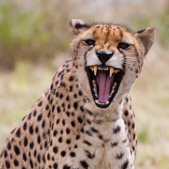 Mom Drops Son in Cheetah Exhibit