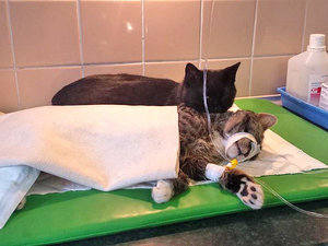 Recovered Shelter Cat Spends His Time Helping Other Animals Heal