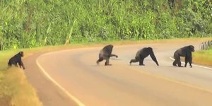 Watch These Timid Chimps Look Both Ways Before Crossing The Road