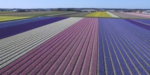 This Drone Video Of Dutch Flower Fields Will Give You The Touch Of Spring You Needed