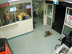 Koala Casually Enters Australian Hospital's Emergency Room