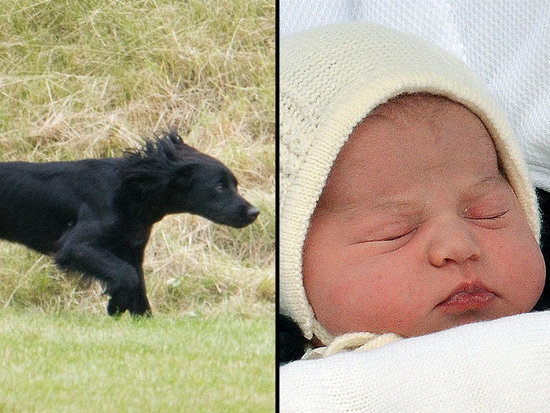 The Other Royal Big Brother - Lupo! - Adjusts to Princess Charlotte