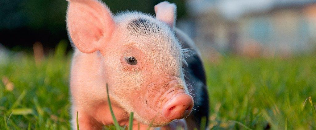 The Bizarre Story of a Senator and a Pig Selfie