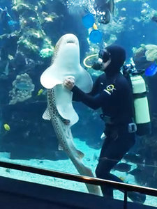 This Is How a Shark Belly Rub Goes Down (VIDEO)