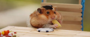 You Really Need to See This Tiny Hamster Munch on Tiny Corn on the Cob