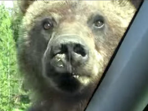 WATCH: Huge Grizzly Bear Tries to Join Family for a Beef Jerky Snack in Their Car