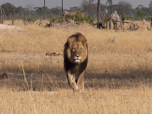Minnesota Dentist Claims He 'Might Have' Killed Beloved Zimbabwe Lion Cecil
