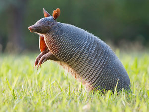Texas Man Tries to Shoot Armadillo, Bullet Ricochets Off Animal's Shell and Injures Man Instead