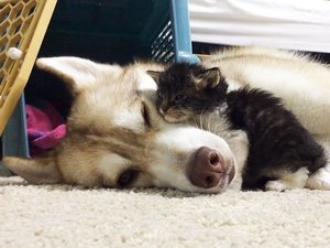 Lilo the Husky and Rosie the Kitten Continue Their Adorable Friendship on Instagram