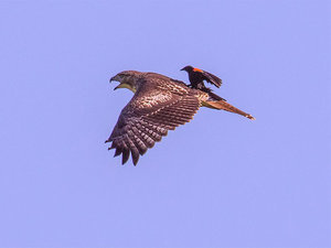 Brave Blackbird Hitches Ride on the Back of a Hawk (PHOTO)