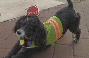 Patches Is The Crossing Guard Dog Who Helps Kids Safely Cross the Street