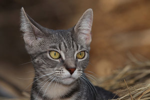 5 Amazing Facts About Your Cat's Ears