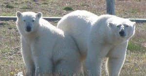 Hungry Polar Bears Surround Arctic Researchers At Russian Weather Station