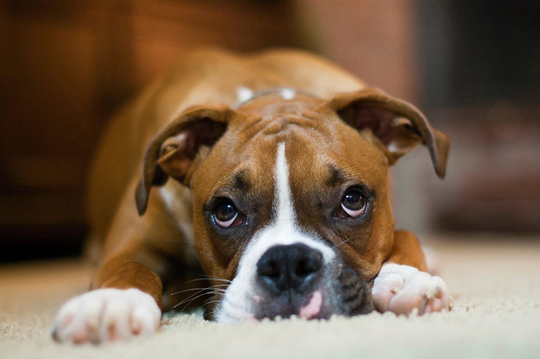 Small Boxer Dog Breeds
