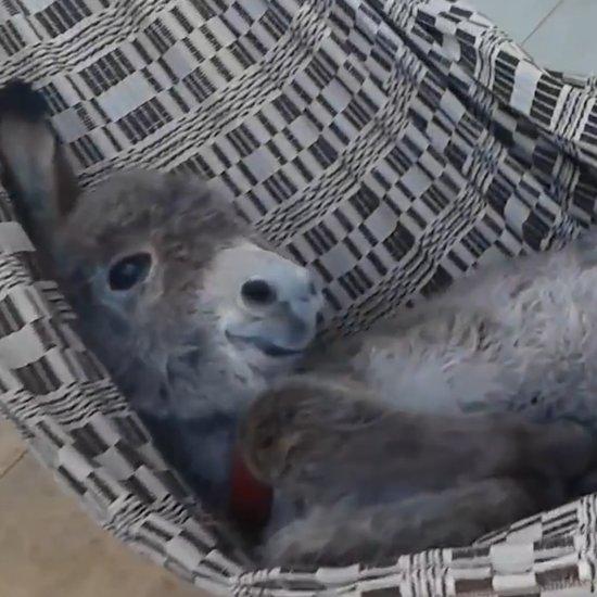 Baby Donkey in a Hammock Video