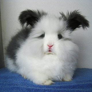 Angora Rabbit Facts