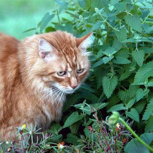 Why Do Cats Like Catnip?