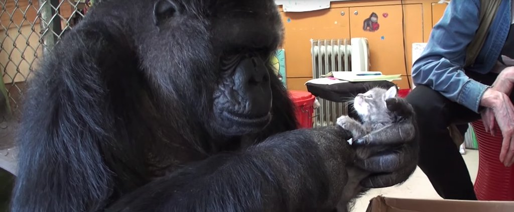 You Won't Believe What This Gorilla Does When She's Given Kittens