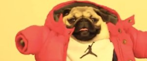 "There's a Pug Dancing to ""Hotline Bling,"" and It Will Rock Your World"