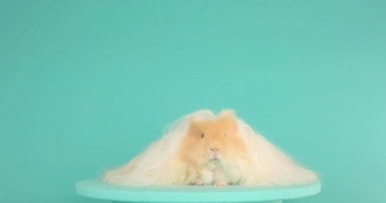 We Can't Even With This Guinea Pig Diva