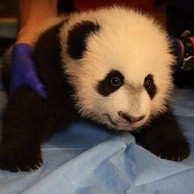 Bei Bei Panda Debut at National Zoo | Video