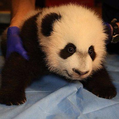 Bei Bei Panda Debut at National Zoo | Video