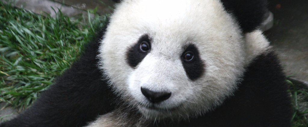 13 Times Pandas Were the Cutest Animals on the Face of This Planet