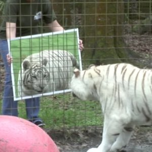 Cats Looking in Mirror   Video