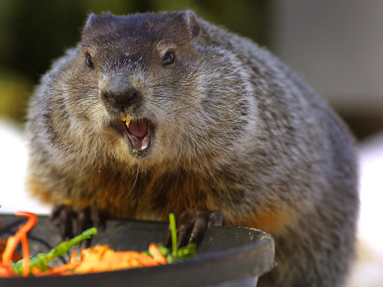 5 Burning (Burrowing) Questions About Groundhog Day Answered