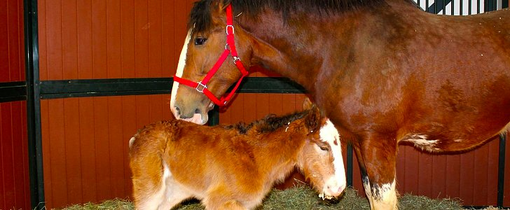 Mac, the New Budweiser Clydesdale, Is a Just a Big Baby