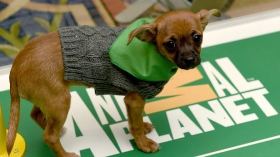 Puppy Bowl Live Stream: How To Watch 2016 Puppy Bowl Online